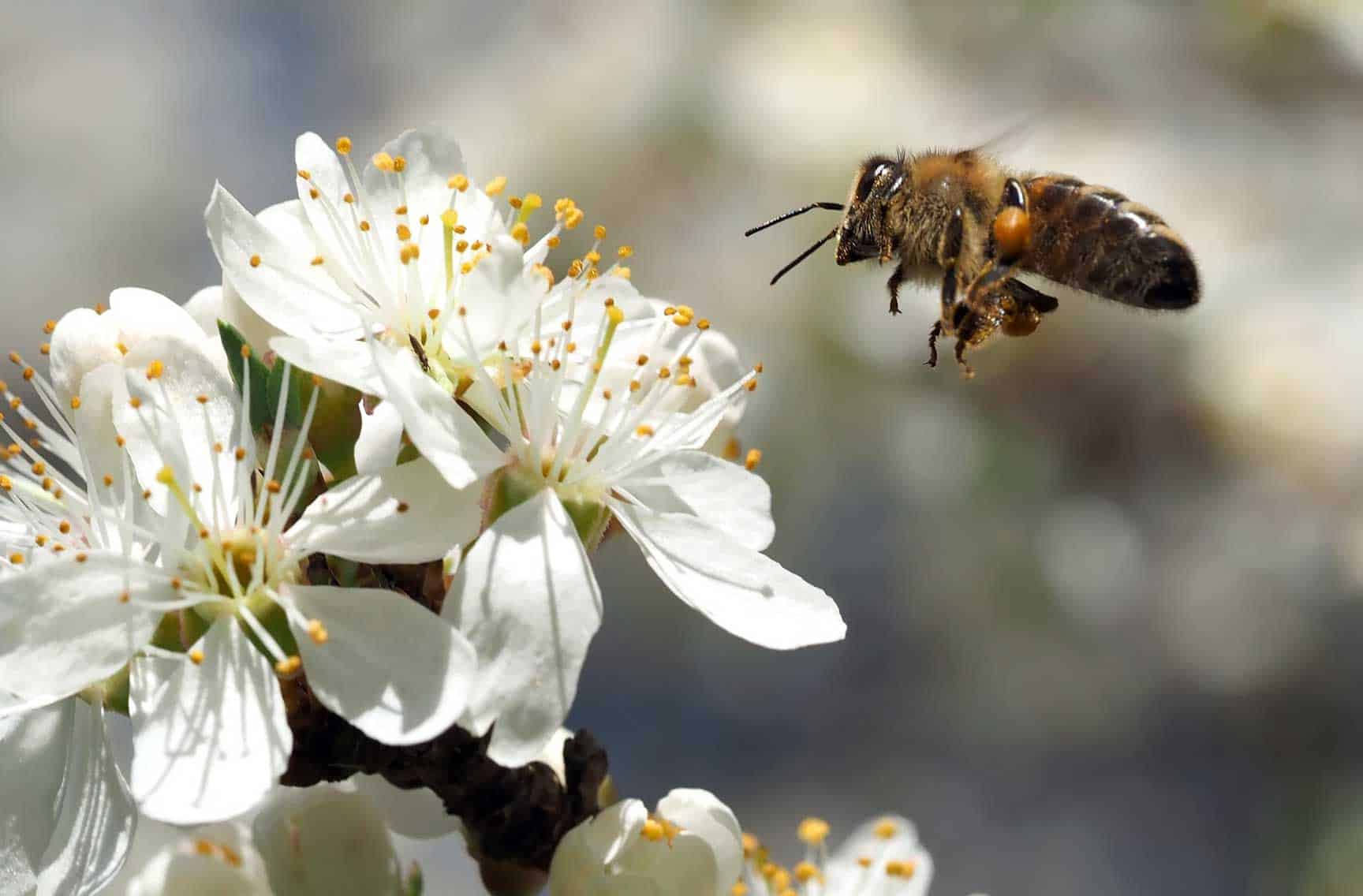 Why Beekeeping is Important- bee hovering over white flower