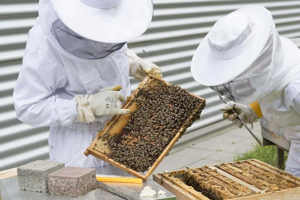 2 beekeepers inspecting hive