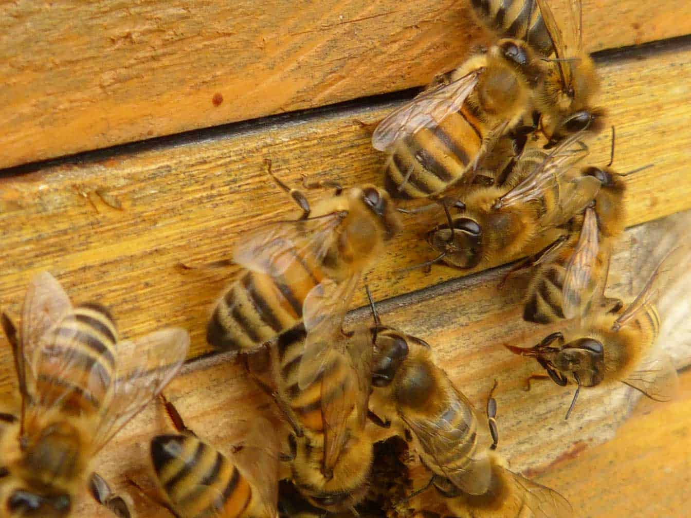 bees on side of hive