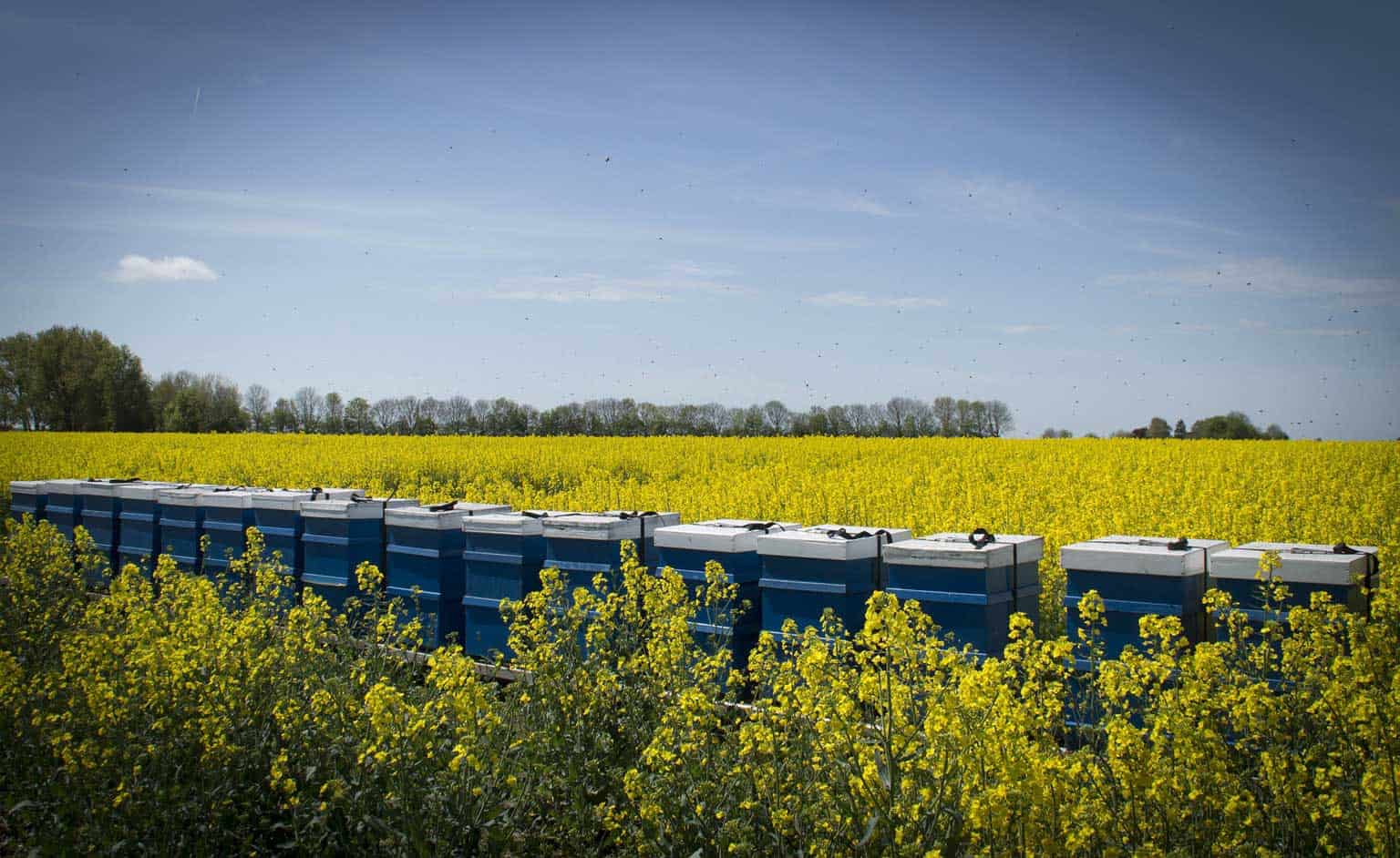 beehives in field of rapeseed