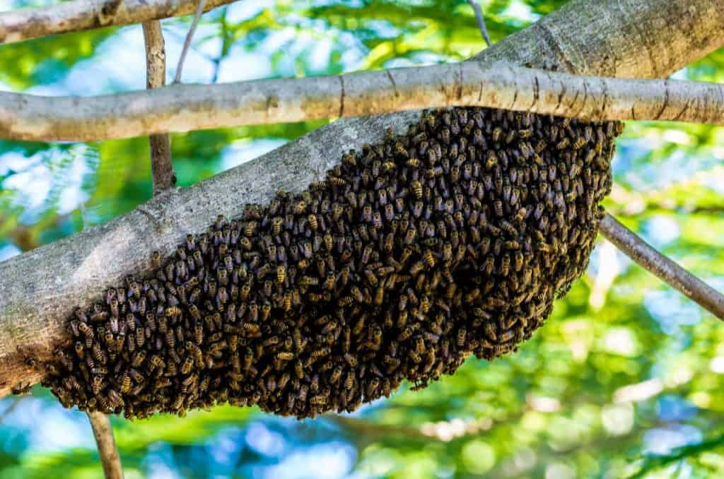 natural hive in trees