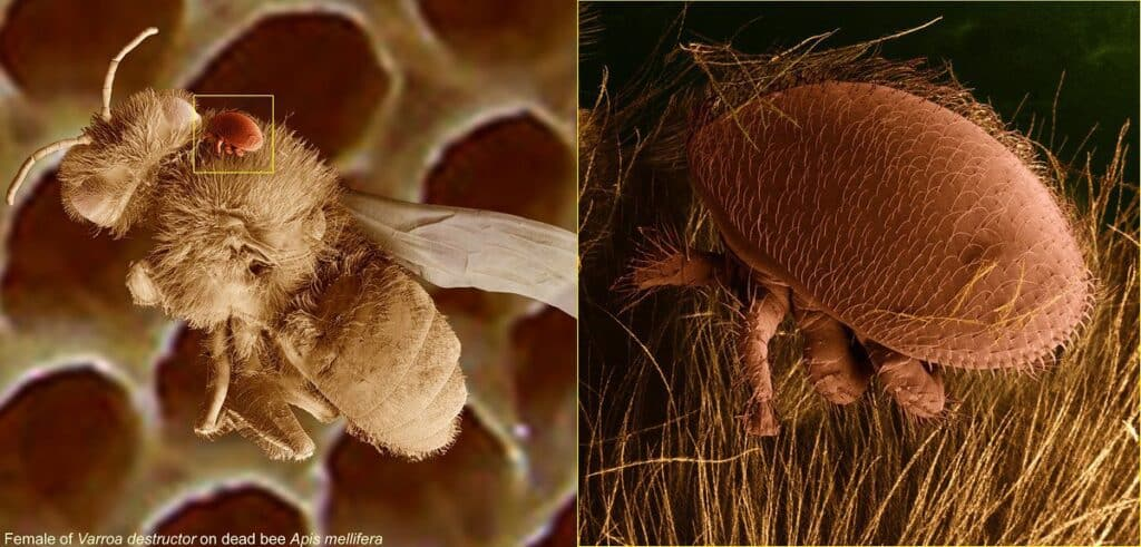 Varroa destructor Bee-Mite