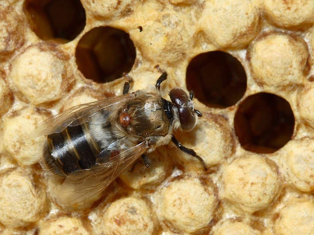 Varroa destructor on drone