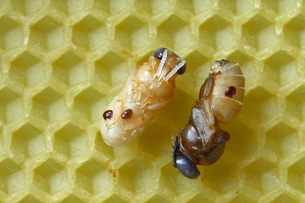 Varroa mites on pupae