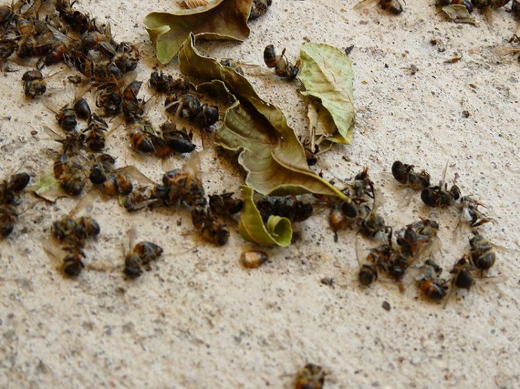 Dead Bees on Ground