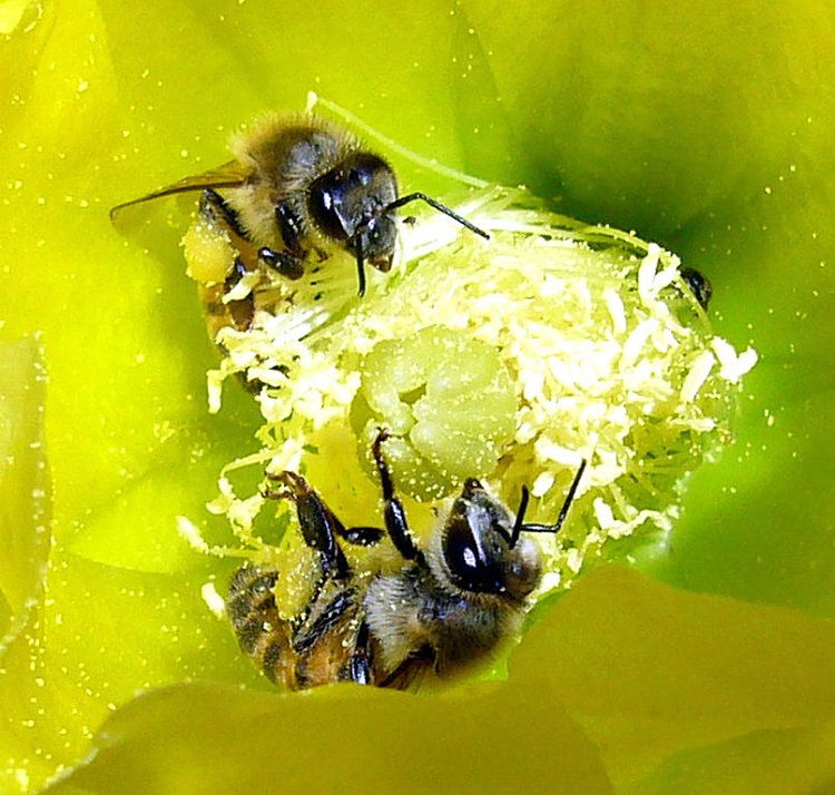 Africanized Honey Bees Pollinating a Yellow Beavertail Cactus Flower